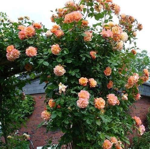 фото розы aloha